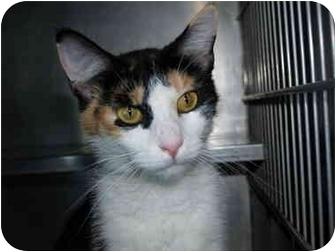 Domestic Shorthair Cat for adoption in El Cajon, California - Cali