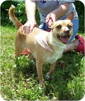 Chihuahua/Jack Russell Terrier Mix Dog for adoption in Somerset, Pennsylvania - Sweetie