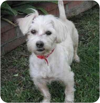 Maltese Mix Dog for adoption in Poway, California - SALLY
