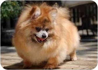 Pomeranian/Pomeranian Mix Dog for adoption in Roebuck, South Carolina - PuttPutt