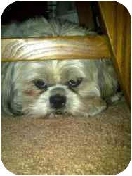 Shih Tzu Dog for adoption in North Benton, Ohio - Hoochie