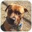 Photo 1 - Boxer/Labrador Retriever Mix Dog for adoption in Auburn, California - Christian