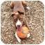 Photo 1 - Labrador Retriever/Pointer Mix Dog for adoption in Berkeley, California - Spence