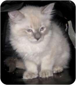 Ragdoll Kitten for adoption in Dallas, Texas - Petunia
