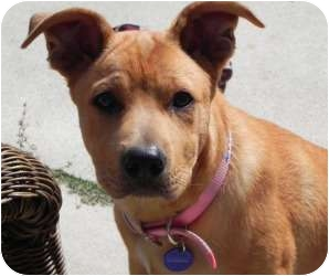 Labrador Retriever Mix Puppy for adoption in Irvine, California - STAR