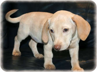 Dachshund Mix Puppy for adoption in Howell, Michigan - Buttercup