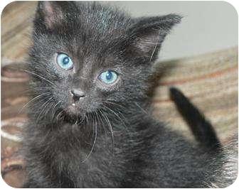 Domestic Shorthair Kitten for adoption in Hendersonville, Tennessee - Kola