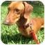 Photo 1 - Dachshund Dog for adoption in Miami, Florida - Nacho