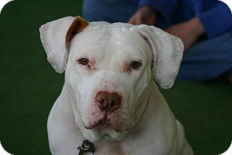 American Pit Bull Terrier/American Bulldog Mix Dog for adoption in Snohomish, Washington - Casper