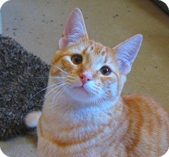 Domestic Shorthair Cat for adoption in Davis, California - Kazoo