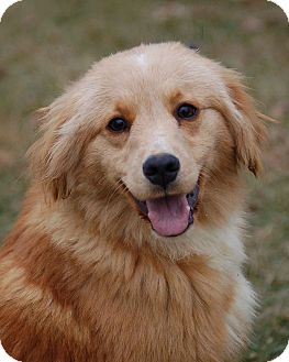 Golden Retriever/Sheltie, Shetland Sheepdog Mix Dog for adoption in Mora, Minnesota - Oliver