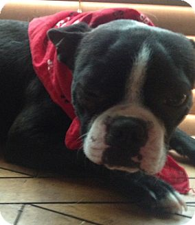 Boston Terrier/French Bulldog Mix Dog for adoption in East Hartford, Connecticut - FLEETWOOD IN MANCHESTER CT