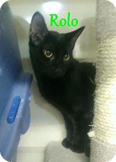 Domestic Shorthair Kitten for adoption in Chandler, Arizona - Rolo
