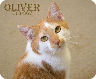 Domestic Shorthair Kitten for adoption in Tiffin, Ohio - OLIVER