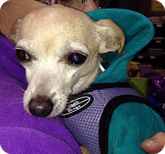 Chihuahua Mix Dog for adoption in Vacaville, California - Lita