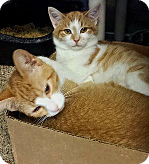 Domestic Shorthair Kitten for adoption in Union, New Jersey - Pocket