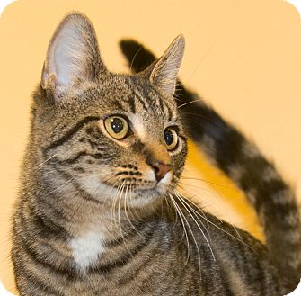Domestic Shorthair Kitten for adoption in Elmwood Park, New Jersey - Tigger