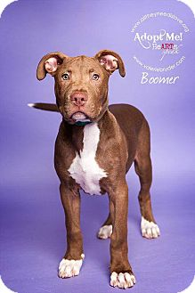 Pit Bull Terrier Mix Puppy for adoption in Medford, New Jersey - Boomer