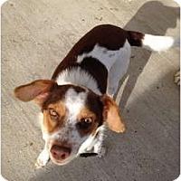 Adopt A Pet :: Ollivia in Galveston - Houston, TX