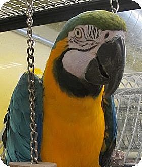 Macaw for adoption in Edgerton, Wisconsin - Makia