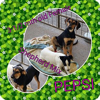 German Shepherd Dog Mix Puppy for adoption in Gustine, California - PEPSI