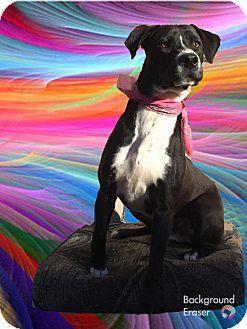 Boxer/Labrador Retriever Mix Dog for adoption in Pasadena, California - SOCRATES