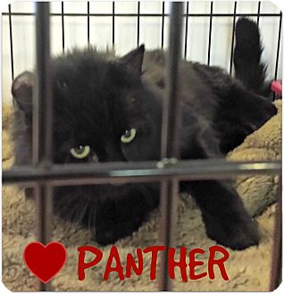 American Shorthair Cat for adoption in Beverly, Massachusetts - PANTHER