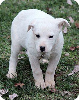 Labrador Retriever/Mountain Cur Mix Puppy for adoption in Washington, D.C. - Cora