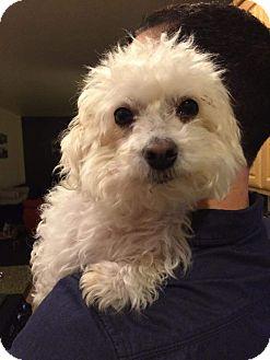 "Poodle (Miniature) Dog for adoption in Seattle, Washington - ""Rafe"""