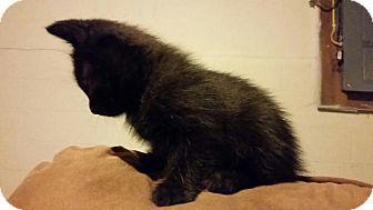Domestic Shorthair Kitten for adoption in Columbus, Ohio - Victor