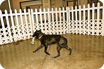 Labrador Retriever Dog for adoption in Detroit Lakes, Minnesota - Lucy