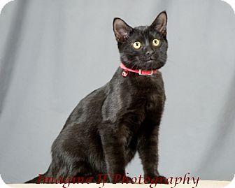 Domestic Shorthair Kitten for adoption in Oklahoma City, Oklahoma - Rookie