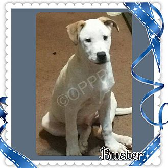 Great Dane/American Staffordshire Terrier Mix Puppy for adoption in Midland, Texas - Buster