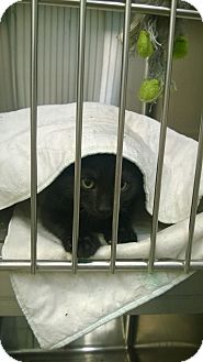Domestic Shorthair Kitten for adoption in Bryan, Ohio - Neville