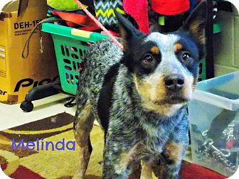 Blue Heeler Dog for adoption in Defiance, Ohio - Melinda