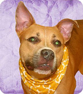 Shepherd (Unknown Type)/Pit Bull Terrier Mix Dog for adoption in Cincinnati, Ohio - Turbo