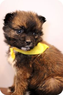 Shepherd (Unknown Type) Mix Puppy for adoption in Waldorf, Maryland - Bahamas