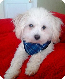 Maltese/Poodle (Toy or Tea Cup) Mix Dog for adoption in Princeton, Kentucky - Max