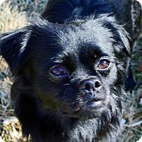 Adopt A Pet :: Bear - Aurora, CO