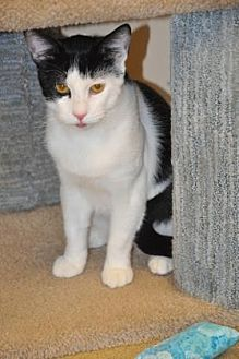 Domestic Shorthair/Domestic Shorthair Mix Cat for adoption in Pompano Beach, Florida - Panda Bear