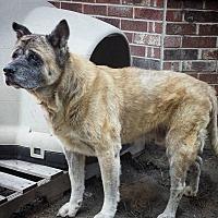 Adopt A Pet :: Brando - Virginia Beach, VA