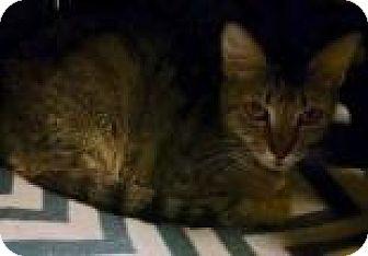 Domestic Shorthair Cat for adoption in Columbus, Georgia - Gilda 8008