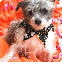 Adopt A Pet :: Ernestine - MEET ME - Norwalk, CT