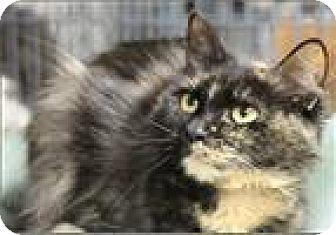Domestic Shorthair Cat for adoption in Freeport, New York - Marsha