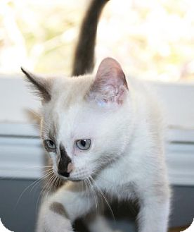 Siamese Kitten for adoption in Buford, Georgia - Marshmellow