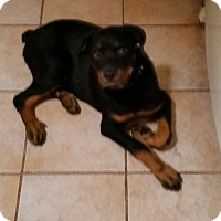 Adopt A Pet :: Bronco - Gilbert, AZ