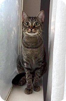Domestic Shorthair Cat for adoption in McKinney, Texas - The Sheriff of Nottingham