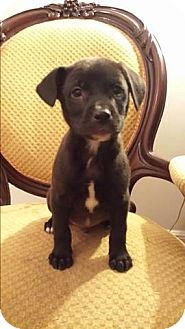 Labrador Retriever Mix Puppy for adoption in Gaithersburg, Maryland - Boone