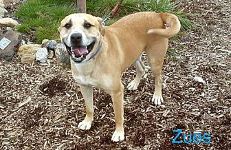 Shepherd (Unknown Type) Mix Dog for adoption in Yreka, California - Zues