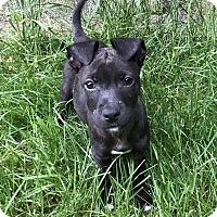Adopt A Pet :: Miki - Tumwater, WA